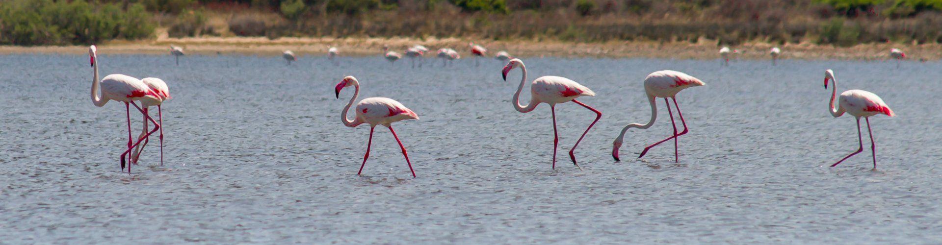 Fenicotteri sguazzano nella laguna di Torresalinas