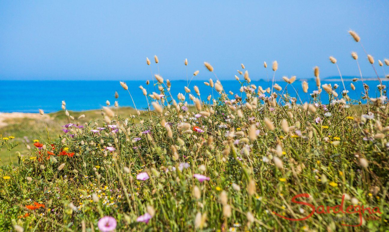 Fiori selvatici sulla spiaggia di Is Arutas
