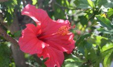 Fiore di Ibisco rosso davanti alle foglie verdi